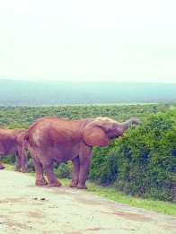 Addo Elephant Park when we almost got trampeled by a herd of elephants