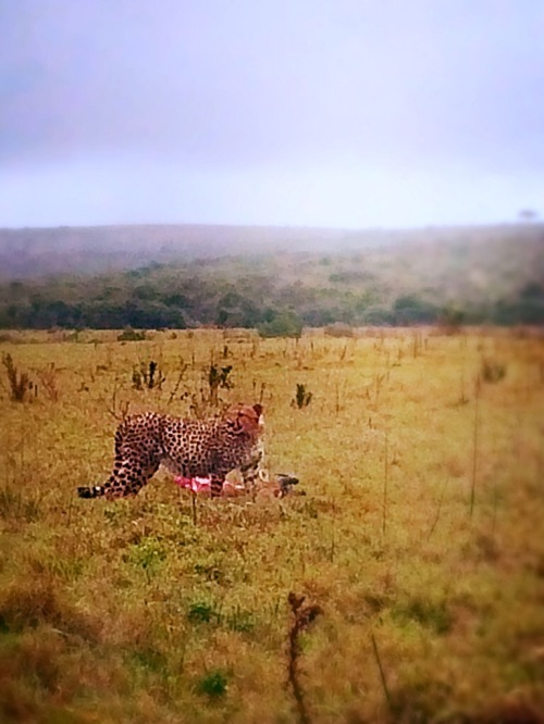 You would've never guessed that there were like 15 cars right the left of the cheetah just taking videos and pictures of her new kill