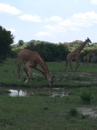 Giraffes look funny when drinking