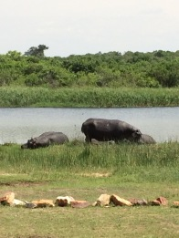 Actually pretty rare to see hippopotamuses out of the water
