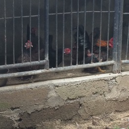 The house where I would practice had a cage full of little bantam chickens